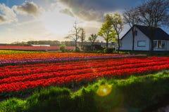 Moulins d'adnd de champ de tulipe vieux dans le netherland Photos libres de droits
