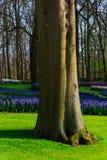 Moulins d'adnd de champ de tulipe vieux dans le netherland Photos stock