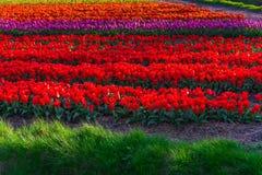 Moulins d'adnd de champ de tulipe vieux dans le netherland Images stock