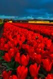 Moulins d'adnd de champ de tulipe vieux dans le netherland Photo libre de droits