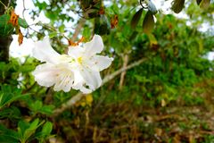 Moulmainense do rododendro mil anos de rosas velhas foto de stock royalty free