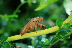 Moulting цикады стоковые фото