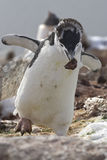 Moulting Antarctic penguin who is a stone in the nest during the Royalty Free Stock Photography