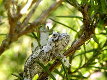 Moulting baby Dwarf Chameleon 2 Stock Photos