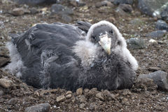 Moulting chick southern giant petrel Royalty Free Stock Photo