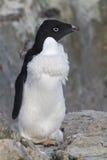 Moulting de pinguïn van Adelie die zich onder bevindt Stock Foto