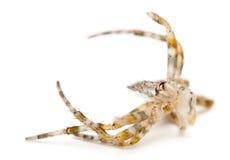 Moulting of European garden spider, Araneus. Diadematus, in front of white background Royalty Free Stock Photo