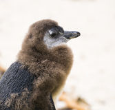 Moulting Juvenile African Penguin Stock Photography