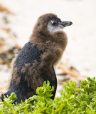 Moulting Juvenile African Penguin Royalty Free Stock Image