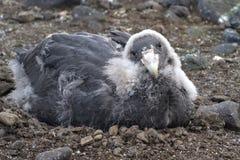 Moulting kuiken zuidelijke reuzestormvogel Royalty-vrije Stock Foto