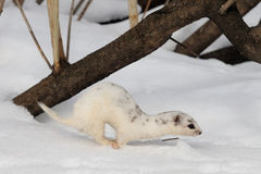 Moulting Least Weasel jump near his snow burrow Royalty Free Stock Image