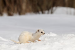 Moulting Least Weasel sitting at snow field Stock Photo