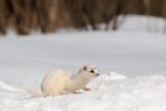 Moulting menos doninhas que senta-se no campo de neve Foto de Stock