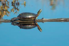Painted Turtle: Midland Subspecies. Moulting Midland Painted Turtle basking in the warm autumn sun. Algonquin Provincial Park, Ontario, Canada Stock Photo