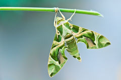 Moulting of moth Stock Image