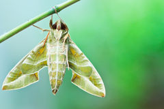 Moulting of moth Royalty Free Stock Images