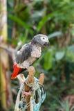 Moulting Papagei Stockbilder