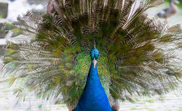 Moulting peacock Stock Image
