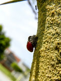 Moulting Red Ladybird beetle Stock Images
