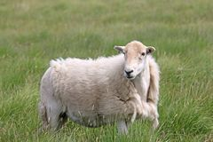 Moulting sheep on moorland royalty free stock images