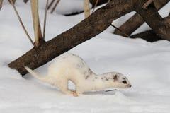 Moulting wenig Wiesel springen Sie nahe seinem Schneebau Lizenzfreies Stockbild
