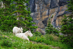 Mounain Goats, Glacier National Park, Montana. Mother and baby mountain goats resting among wildflowers.  Glacier National Park, Montana Royalty Free Stock Images