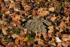 Mound of earth from the burrow of a mole. A trace of a mole on the soil. Mound of earth from the burrow of a mole. A trace of a mole on the soil royalty free stock photos