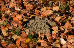 Mound of earth from the burrow of a mole. A trace of a mole on t. He soil royalty free stock image
