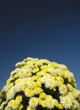 Mound of flowers. A mound of chrysanthemums contrasting strongly against a dark blue sky Royalty Free Stock Photos