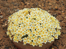 A mound of Yellow Dionysia flowers. A mound of yellow flowers (Dionysia Monika) against a gravel background Stock Images