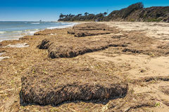 Mounds of seaweed on the beach dry Royalty Free Stock Images