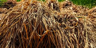 Mounds of straw in the ricefield stock photo