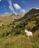 Mount Aspiring National Park. A typical scene of sheep and beautiful mountains in Mount Aspiring national park in the South Island of New Zealand Royalty Free Stock Image