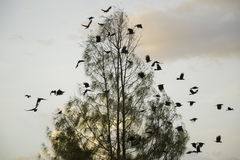 Fly off. Crows flying after the break on a tree branch Stock Photography