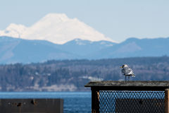 Mount Baker. Seagull surveys the Port Gardner, Washington water with Mount Baker in the background Royalty Free Stock Photography