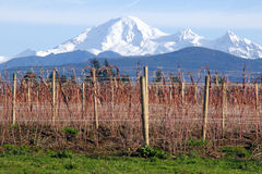 Mount Baker and Winter Raspberry Bushes Royalty Free Stock Photos
