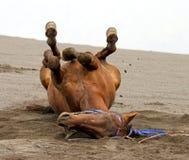 MOUNT BROMO HORSE Stock Photography