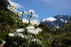 Mount Cook Lilies (Ranunculus lyalli). Mount Cook Lilies at the Milford Road, Southland, South island,  New Zealand Stock Image