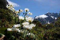 Mount Cook Lilies (Ranunculus lyalli) Stock Image