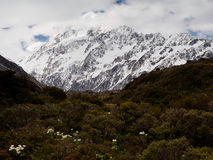 Mount Cook Lily/buttercup and Mt Cook, Hooker Valley, New Zealand Royalty Free Stock Photo