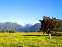Mount Cook and Mount Tasman, New Zealand. Tree and Field in front of Mount Cook and Mount Tasman, New Zealand Stock Images