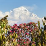 Mount Dhaulagiri and red rhododendron, Nepal Himalayas. View of Mount Dhaulagiri from Poon Hill view point and red rhododendron, Nepal Himalayas mountains royalty free stock photography