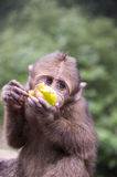 Mount Emei`s wild macaques Royalty Free Stock Photos