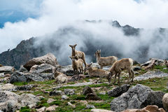 Mount Evans Sheep. Mountains Colorado Sheep Mount Evans Peak Royalty Free Stock Image