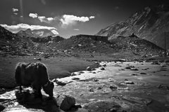 Mount Everest Base Camp with Yak Tibet Royalty Free Stock Images