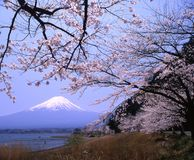 Mount Fuji. Lakeside view of Mount Fuji in Spring with cherry blossoms Stock Images