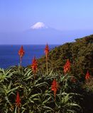 Mount Fuji. Aloe blossoms and Mount Fuji Royalty Free Stock Images