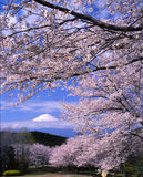 Mount Fuji 4. Cherry blossoms with Mount Fuji Stock Photography