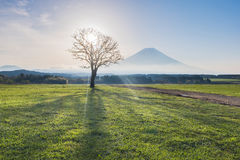 Mount Fuji with beam of light through dried tree in the morning.  Royalty Free Stock Photos