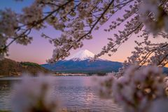 Mount Fuji with Cherry Blossom sakura, view from Lake Kawaguchiko